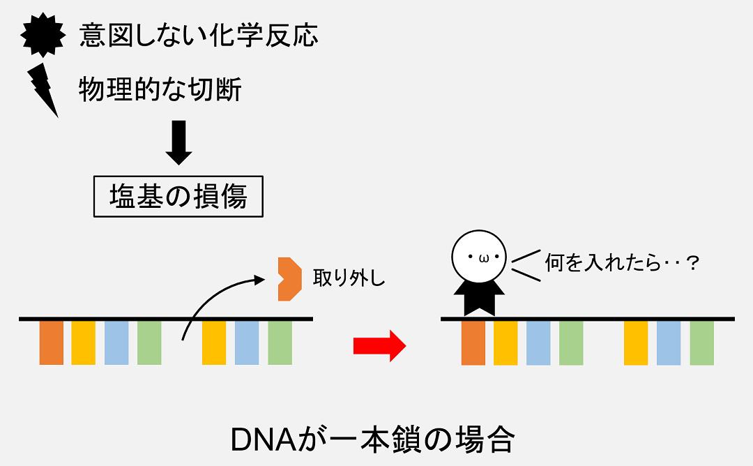 DNAが一本鎖の場合、どの塩基を入れて修復すればよいのか分からなくなる事態が発生する可能性があります。