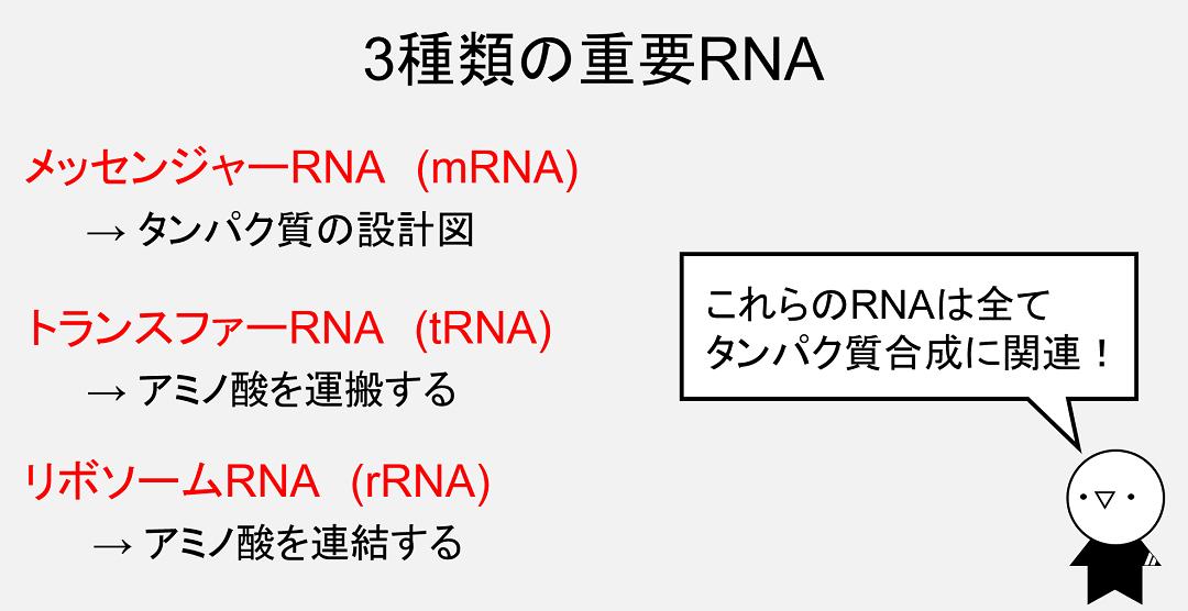 RNAの中でも、mRNA、tRNA、rRNAは特に重要な働きを持ちます。