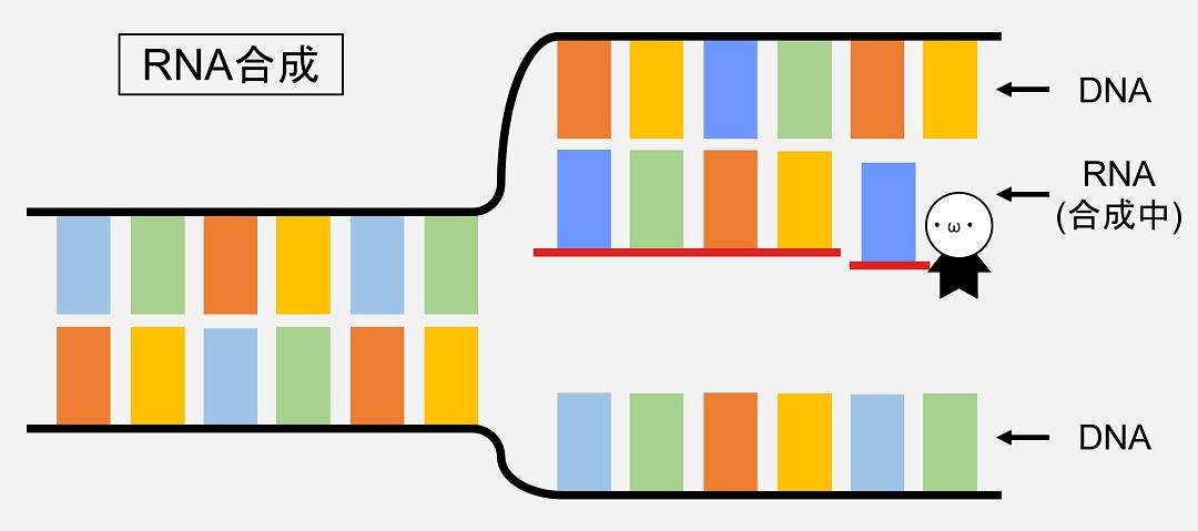 RNAはDNAから合成されており、二本鎖DNAの片方の鎖の塩基配列が鋳型となっています。
