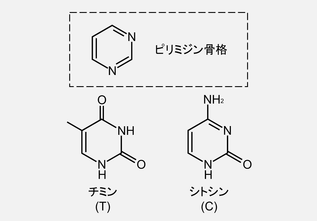 チミンとシトシンはピリミジン骨格を持ちます。
