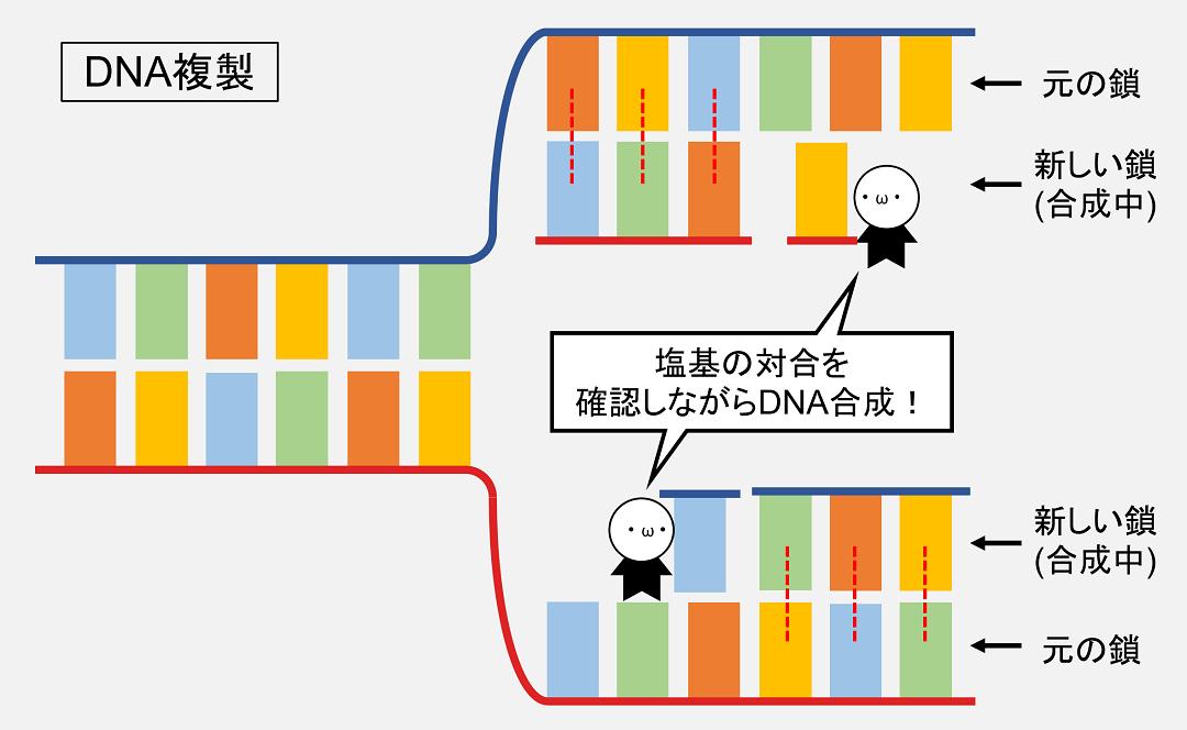 DNA複製のときも、塩基対がちゃんとできているかを確認しながら合成を進めればミスなくDNAを複製することができます。