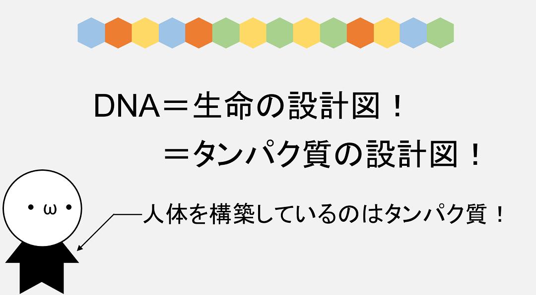 ヒトの体はタンパク質ができており、DNAはそんなタンパク質の設計図として働いています。