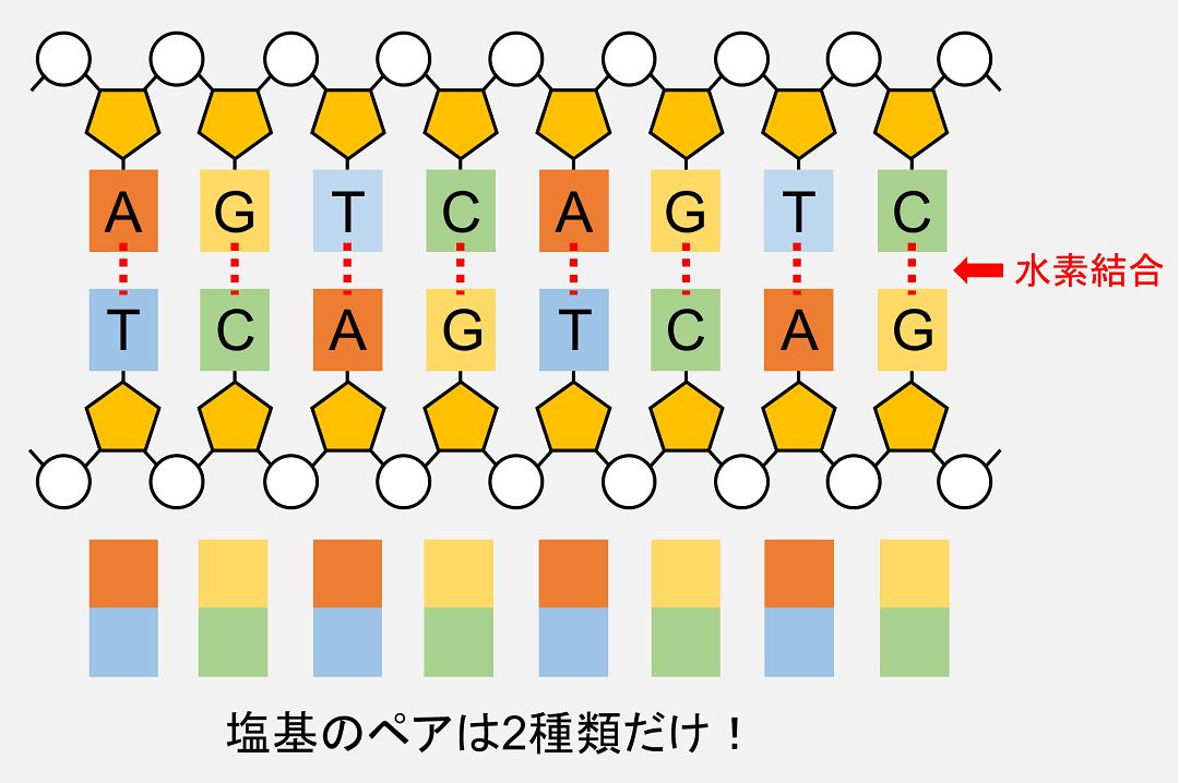 向かい合う塩基間では水素結合が形成されています。また、向い合う塩基の組み合わせは2種類のみです。