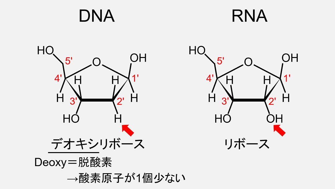 デオキシリボースとリボースの違いは、2'位の炭素に水素原子が結合しているか水酸基が結合しているかの違いです。