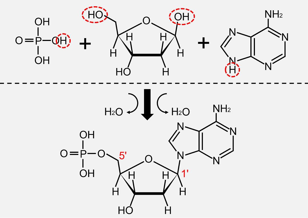 塩基は1'位炭素に、リン酸は5'位の水酸基に結合します。