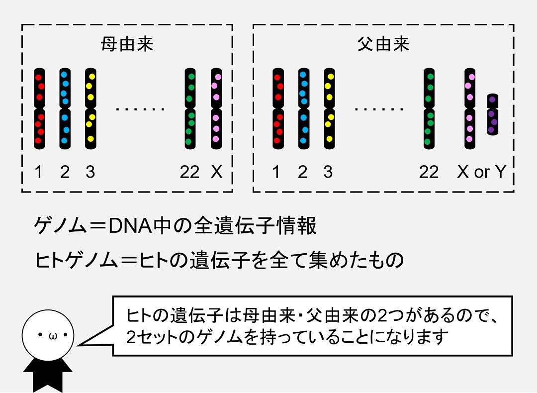 ゲノムとは、その生物が持つ遺伝子を全て並べたものです。ヒトは2セットのゲノムを持つことになります。