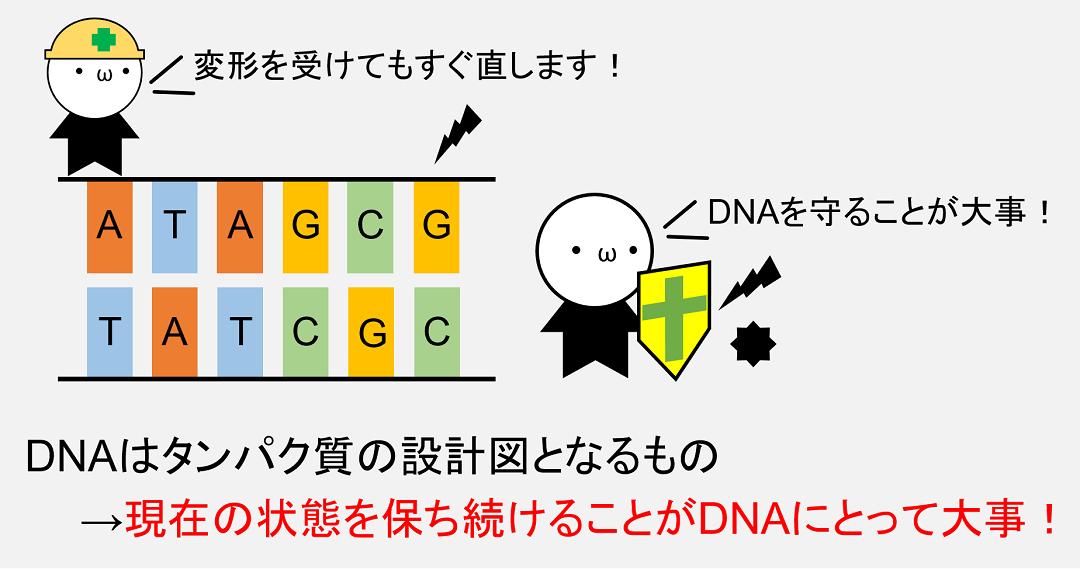 DNAにとって最も重要なことは、自身が持つ遺伝情報を守り抜くことです。