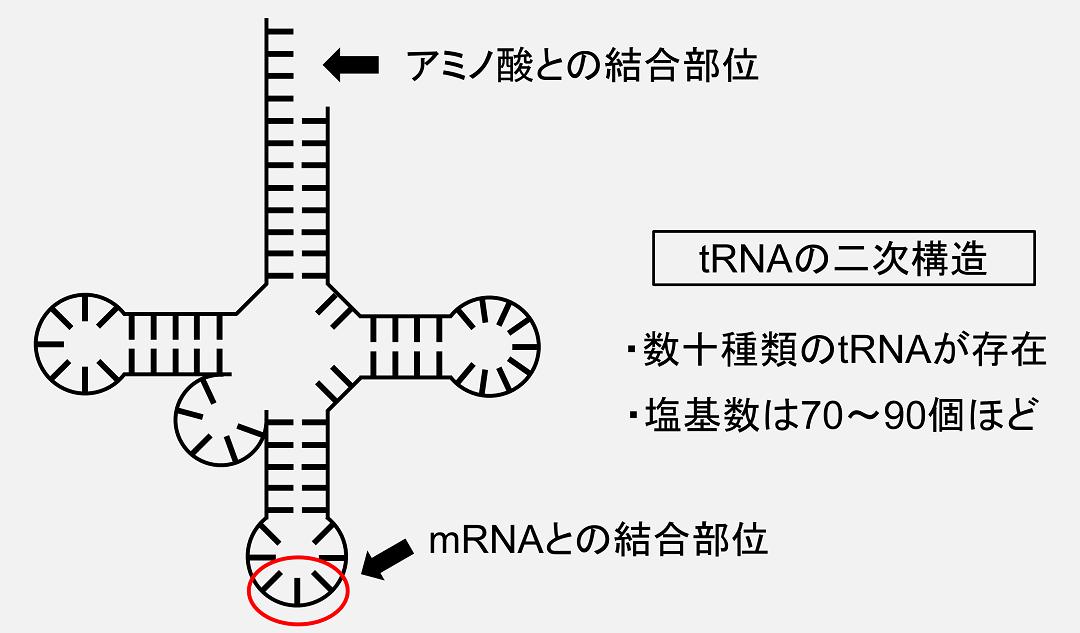 トランスファーRNA(tRNA)は特徴的な二次構造をとり、アミノ酸との結合部位とmRNAとの結合部位を有します。