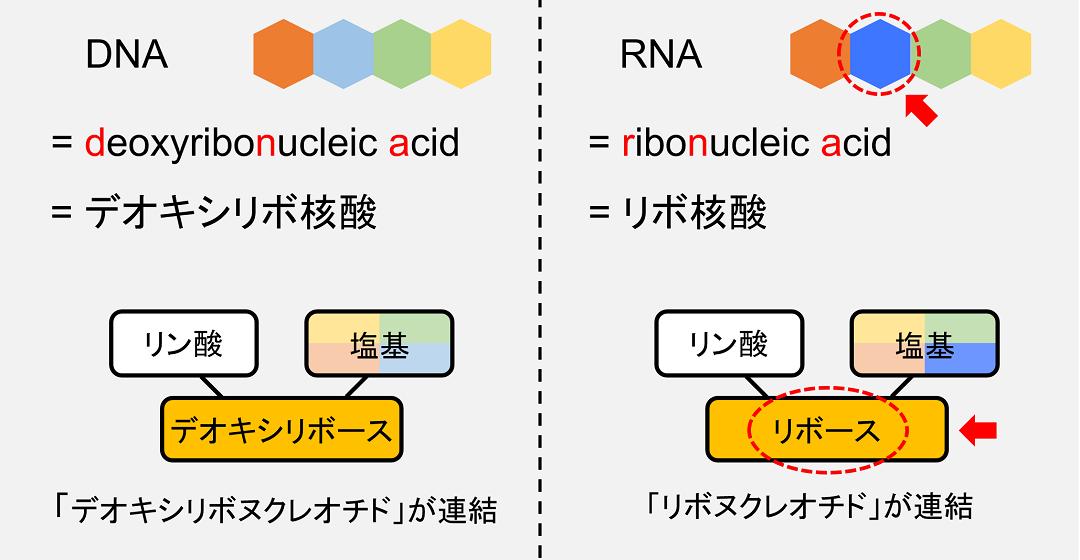 RNAの構造を簡単に示しました。デオキシリボースではなくリボースが使われ、また、使われている塩基の種類に違いがあります。