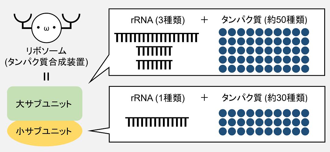 リボソームRNA(rRNA)は4種類あり、リボソームの大サブユニットに3種類、小サブユニットに1種類が含まれています。