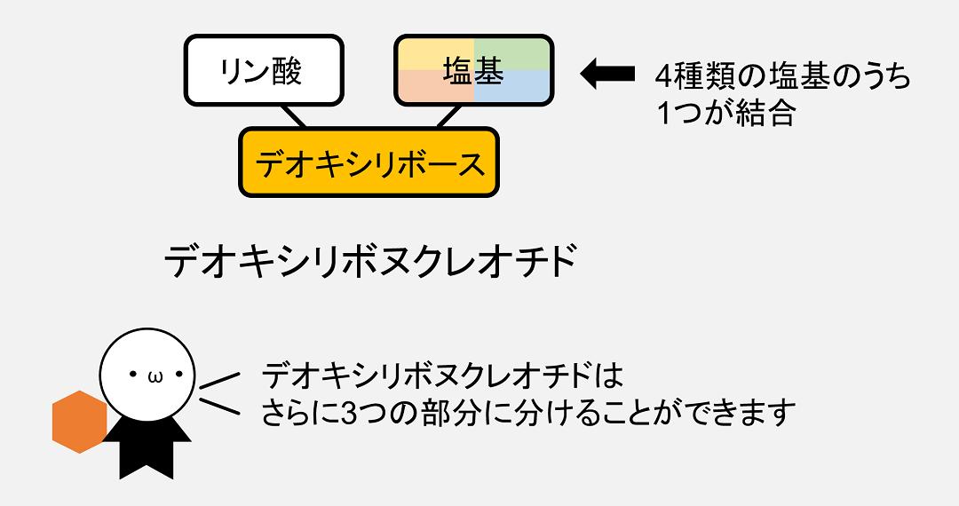 デオキシリボヌクレオチドは、デオキシリボース、リン酸、塩基の3つの部分に分けることができます。