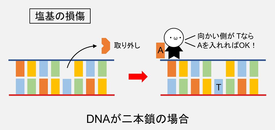 DNAが二本鎖なら向かい側に残された塩基を参考にして修復ができるので、確実にDNA修復を行うことができます。
