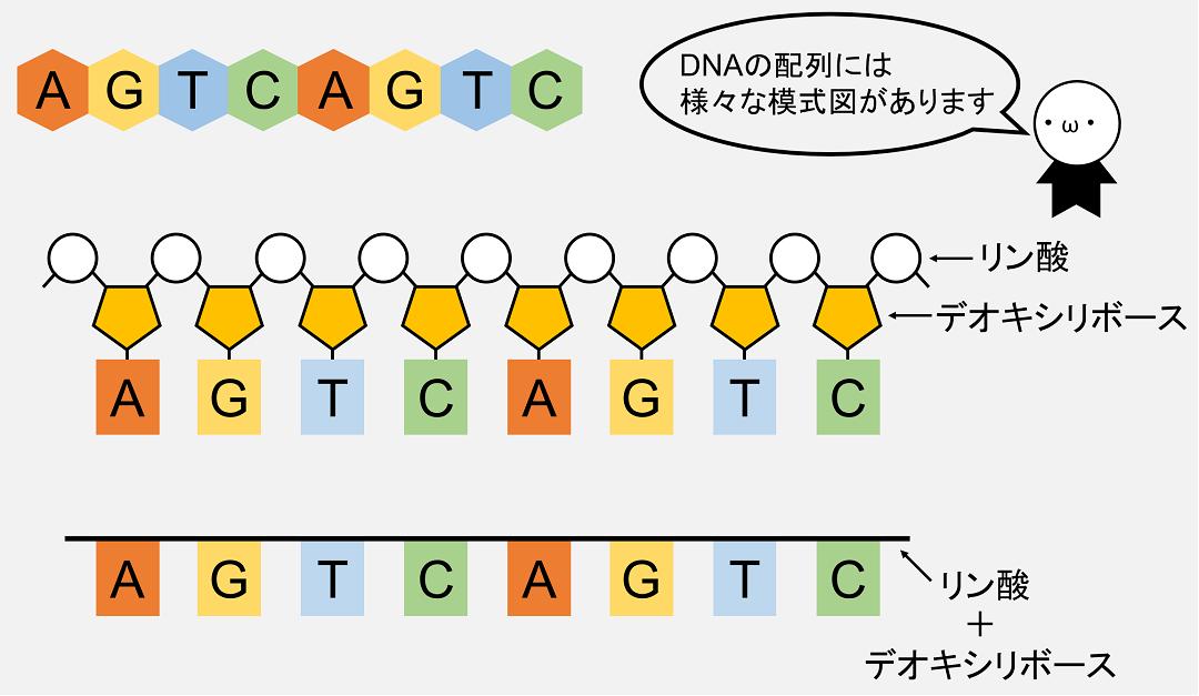 DNAの配列は模式図で表すことが多いですが、教科書や著者によって表現はまちまちです。