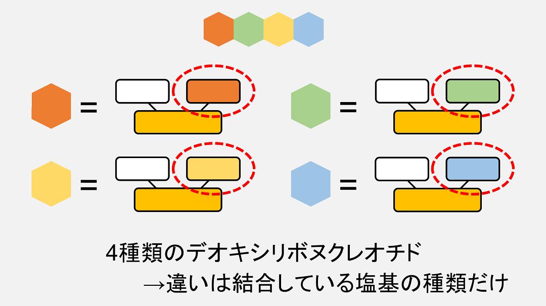 4種類のデオキシリボヌクレオチドの違いは、結合している塩基の種類のみです。