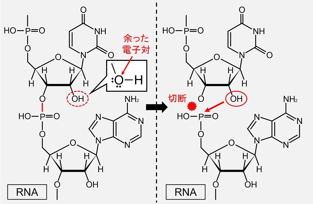 水酸基には余った電子対が存在し、これがホスホジエステル結合と反応するとホスホジエステル結合が切断されます。