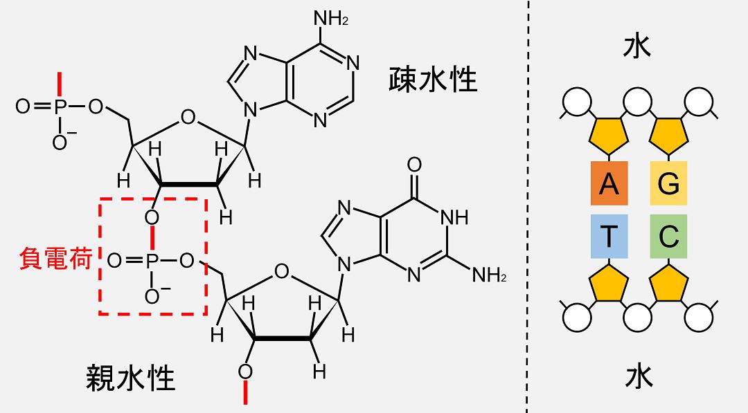 同じ鎖の隣り合う塩基同士の間にも、疎水性の作用が働いていると考えられます。