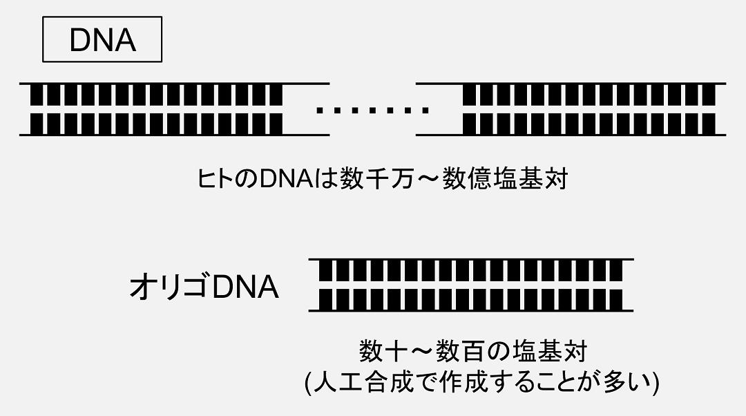 DNAの中でも、人工合成などによって得られた比較的短いDNAはオリゴDNAと呼ばれます。