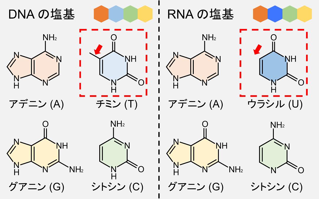 RNAではチミンが使われず、代わりにウラシルが使われます。