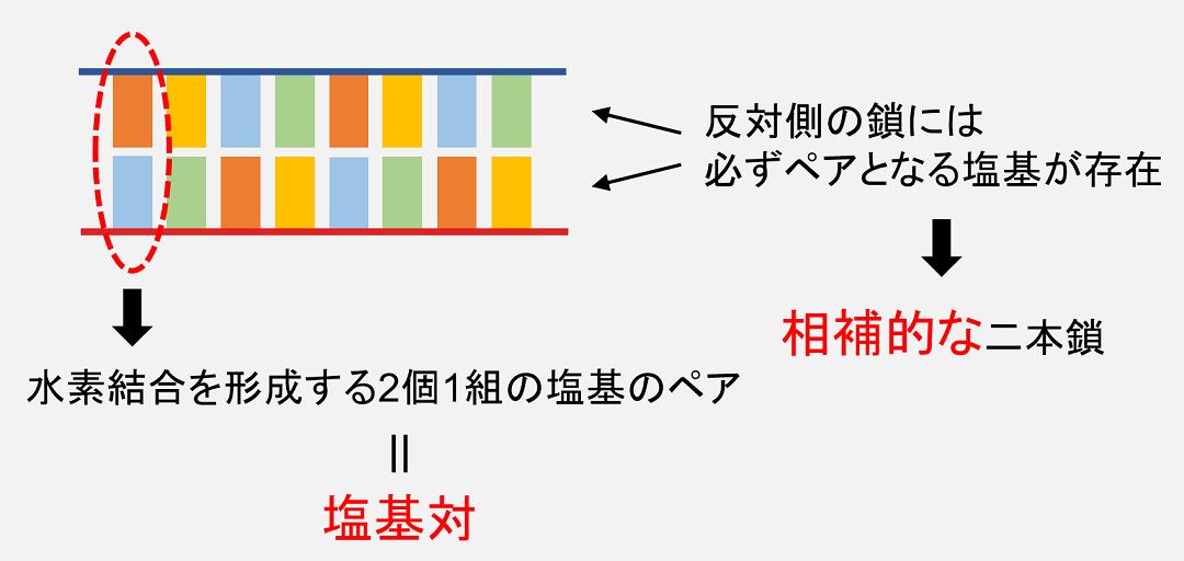 二個一組の塩基ペアのことを「塩基対」と呼び、DNAは「相補的な二本鎖」を形成します。