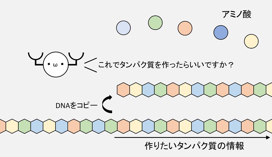 タンパク質を合成するときには、作りたいタンパク質の情報を持ったDNAのコピーがまず作られます。