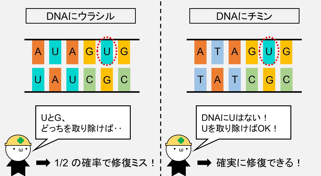 DNAにウラシルが正式採用されていた場合、シトシンの脱アミノ化で発生したウラシルを修復できない可能性が出てきます。
