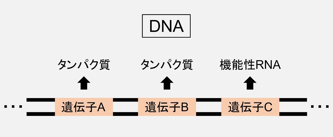 「遺伝子」はDNA上にとびとびの存在しています。