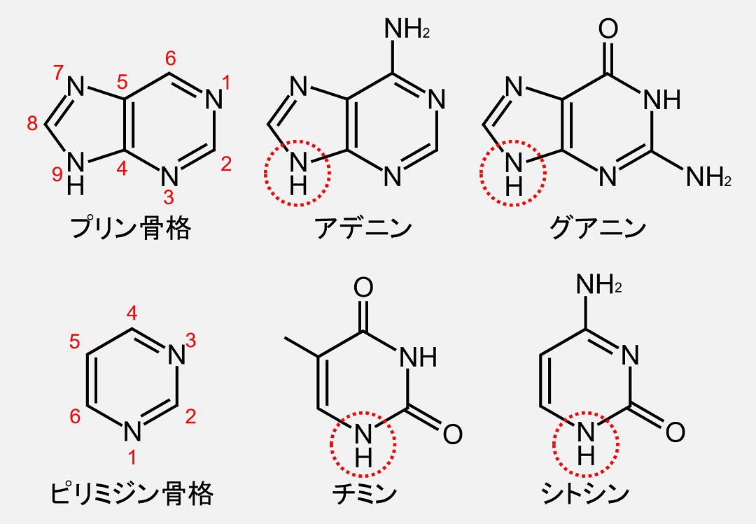 プリン骨格、ピリミジン骨格の炭素にも番号が付いています。