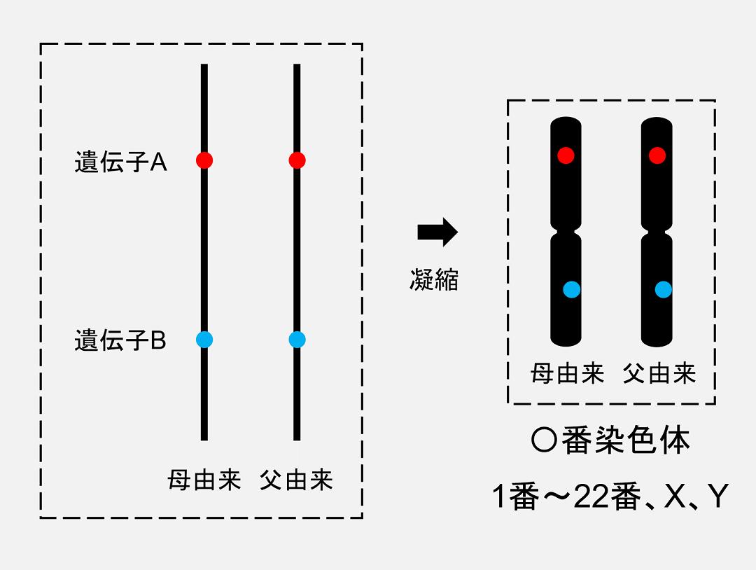 DNAはタンパク質の力を借りて凝縮しており、この凝縮されたものが「染色体」と呼ばれています。