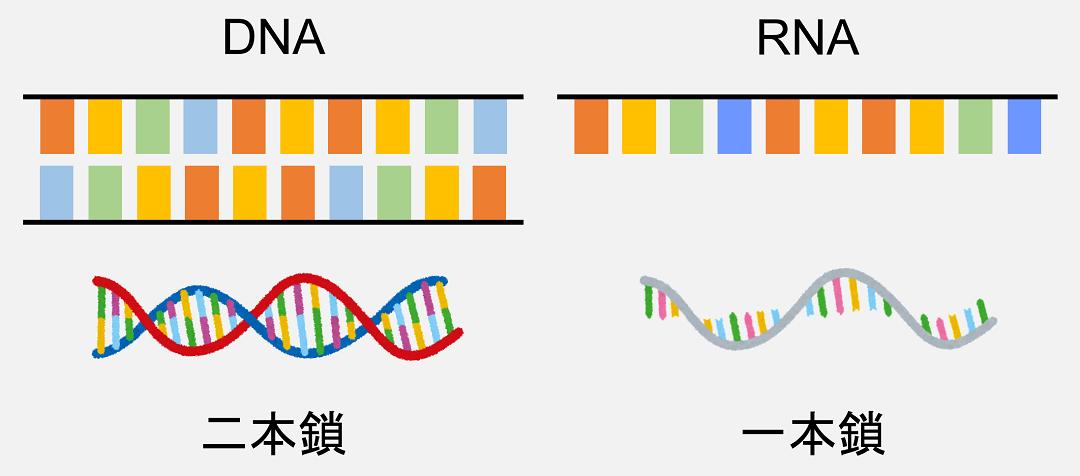 DNAが二本鎖なのに対し、RNAは一本鎖で存在しています。