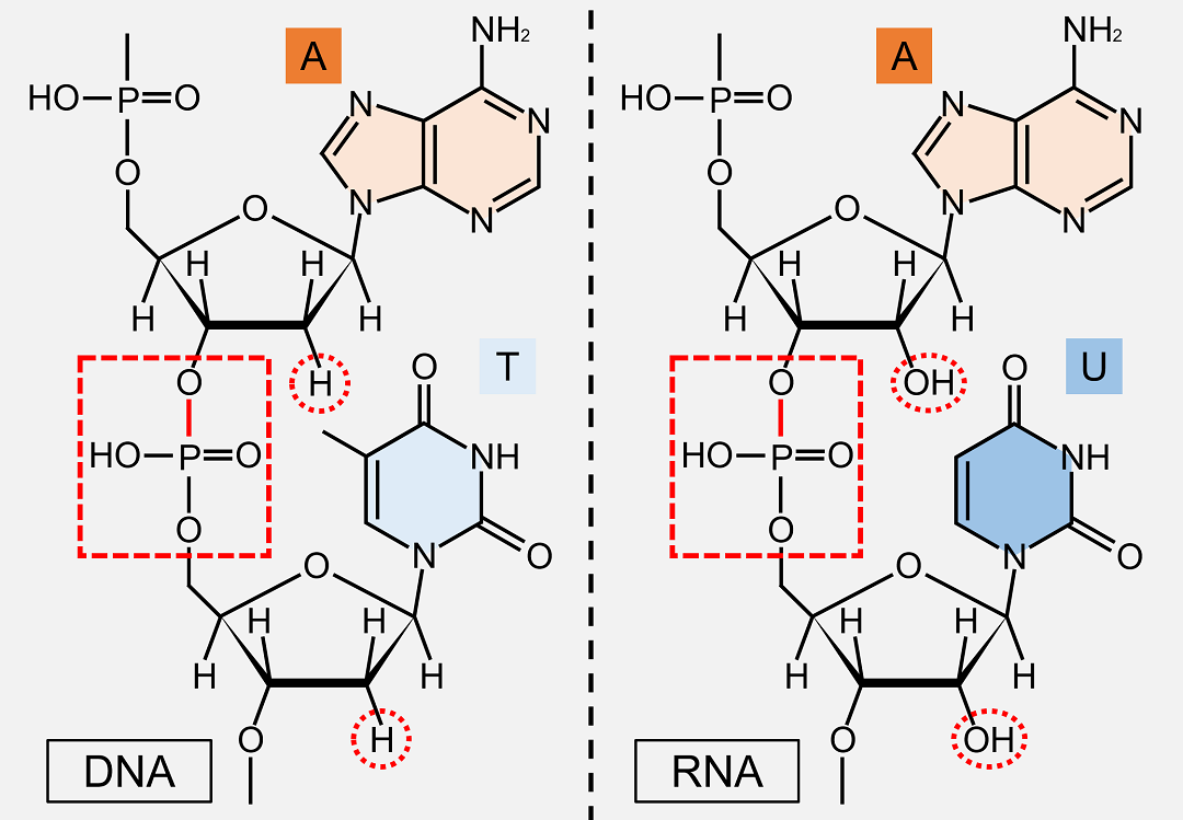 RNAもDNAと同様にホスホジエステル結合で伸長していきます。