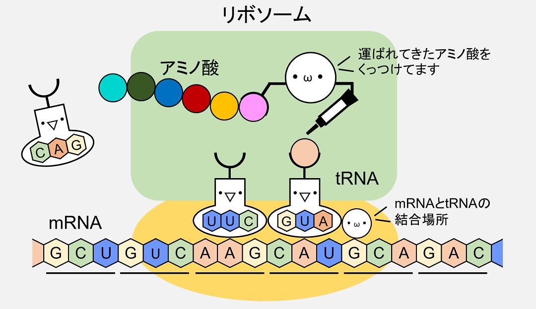 rRNAはtRNAによって運ばれてきたアミノ酸の連結を行っています。