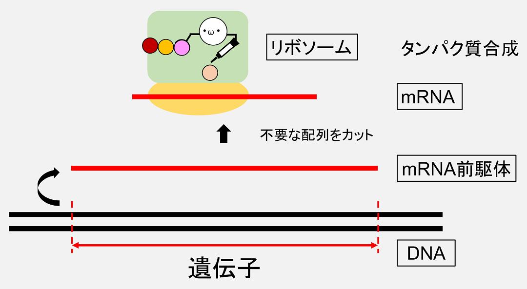 「遺伝子」にあたるDNA配列はRNAへとコピーされています。