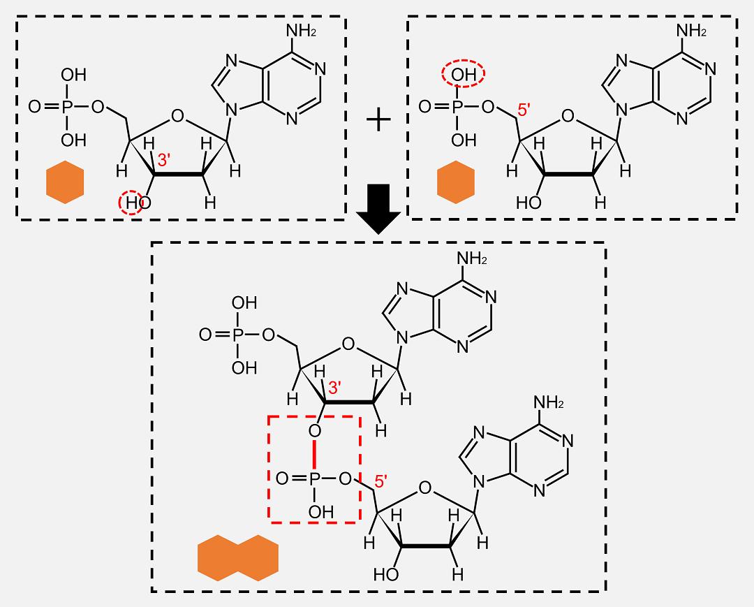 デオキシリボヌクレオチドはホスホジエステル結合によって連結します。