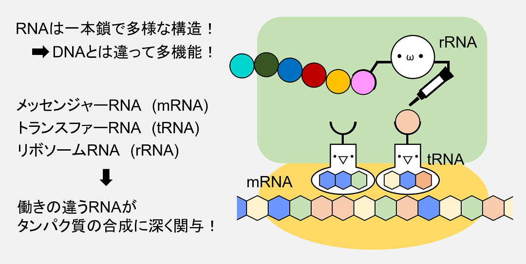 mRNA,tRNA,rRNAはいずれもタンパク質合成に必要なRNAですが、それぞれ構造が違い異なる役割を担っています。